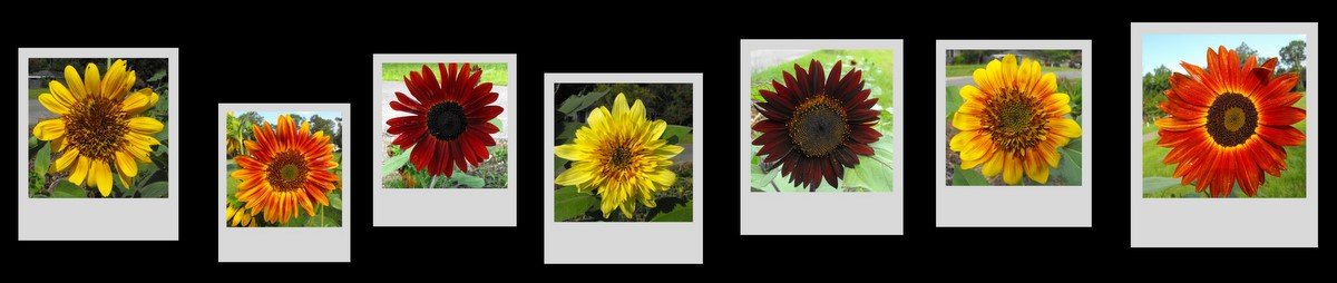 banner image of different colored sunflowers